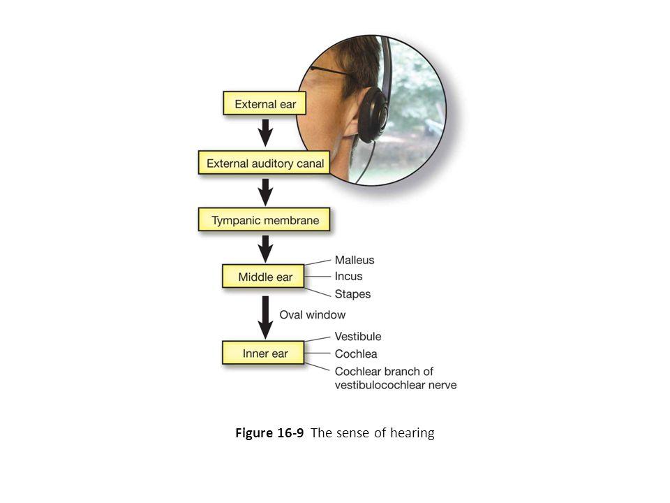 Figure 16-9 The sense of hearing