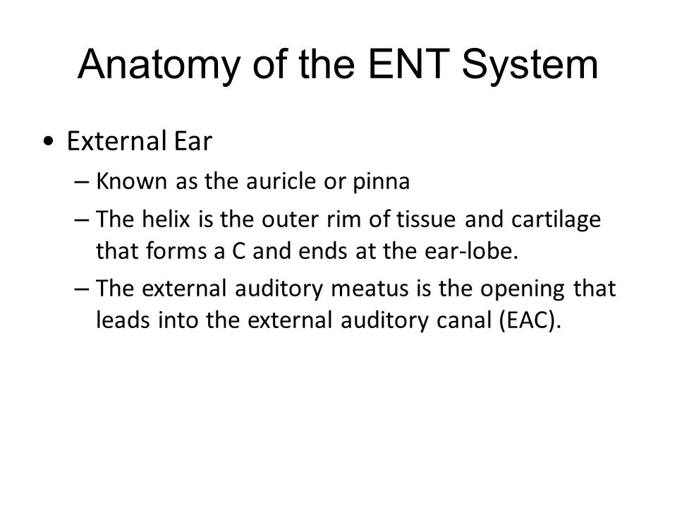 Anatomy of the ENT System External Ear – Known as the auricle or pinna – The helix is the outer rim of tissue and cartilage that forms a C and ends at