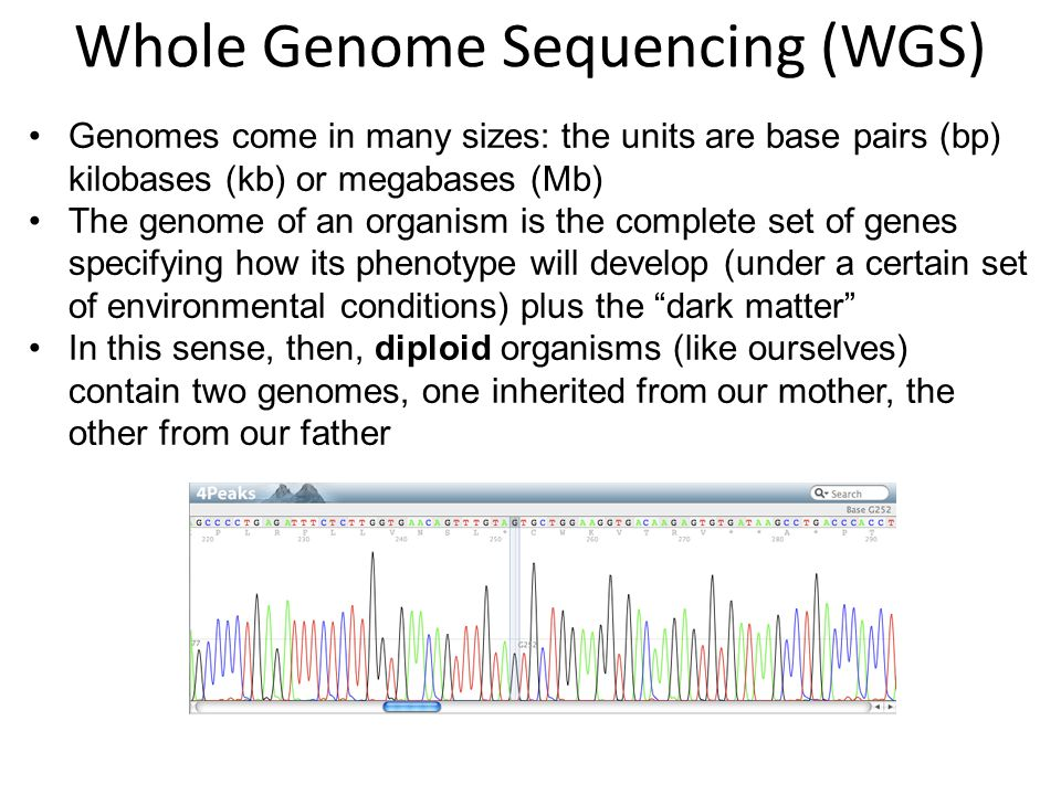 Genomes come in many sizes: the units are base pairs (bp) kilobases (kb) or megabases (Mb) The genome of an organism is the complete set of genes specifying how its phenotype will develop (under a certain set of environmental conditions) plus the dark matter In this sense, then, diploid organisms (like ourselves) contain two genomes, one inherited from our mother, the other from our father Whole Genome Sequencing (WGS)