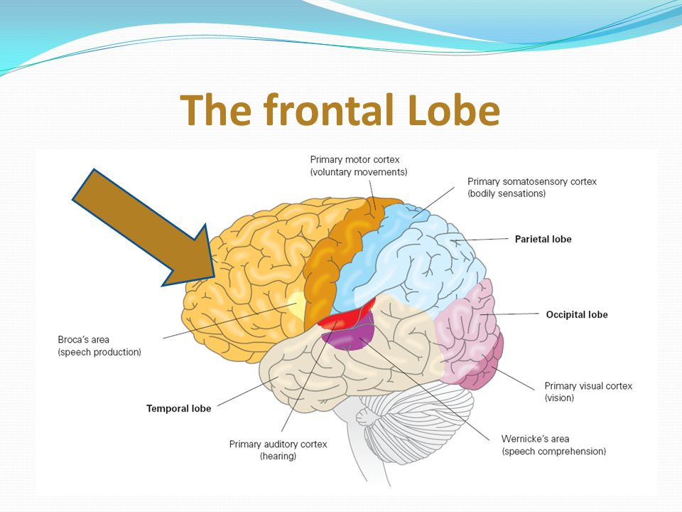 Deep within the Temporal lobe – the hippocampus Memory formation – not memory storage Damage leaves patient unable to form new long term memories The hippocampus lives on memory lane