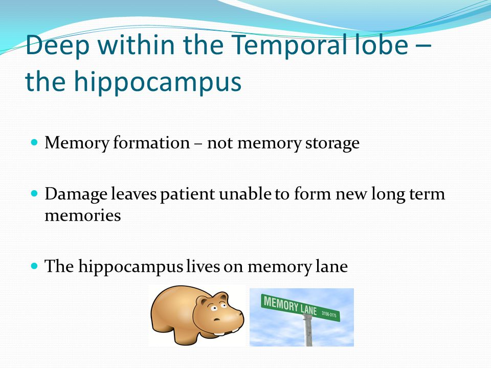 Deep within the Temporal lobe – the hippocampus Memory formation – not memory storage Damage leaves patient unable to form new long term memories The