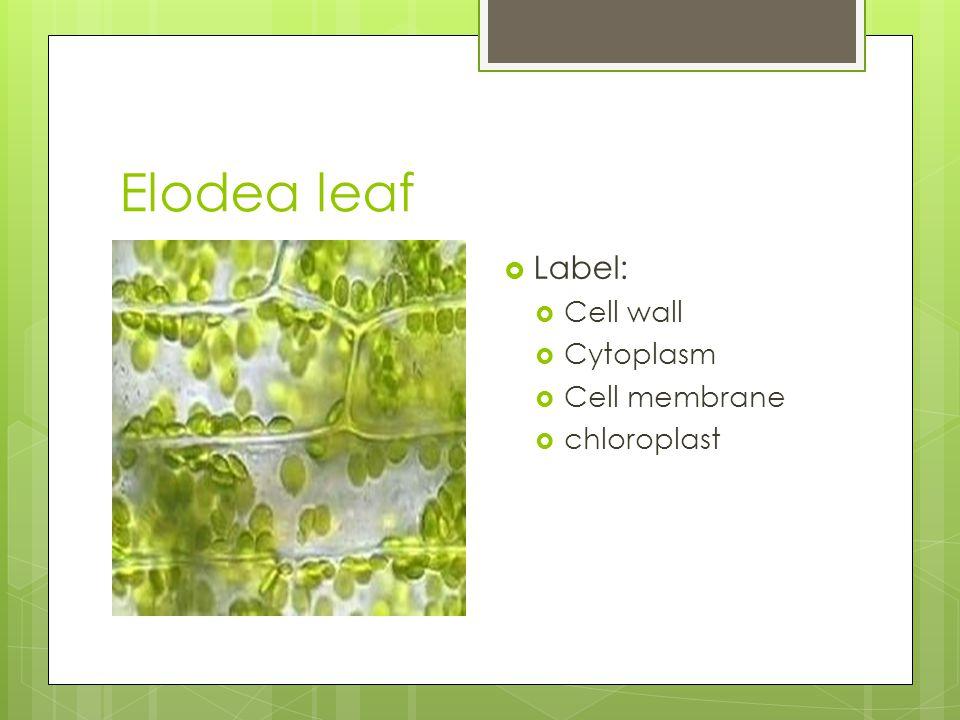 Elodea leaf  Label:  Cell wall  Cytoplasm  Cell membrane  chloroplast