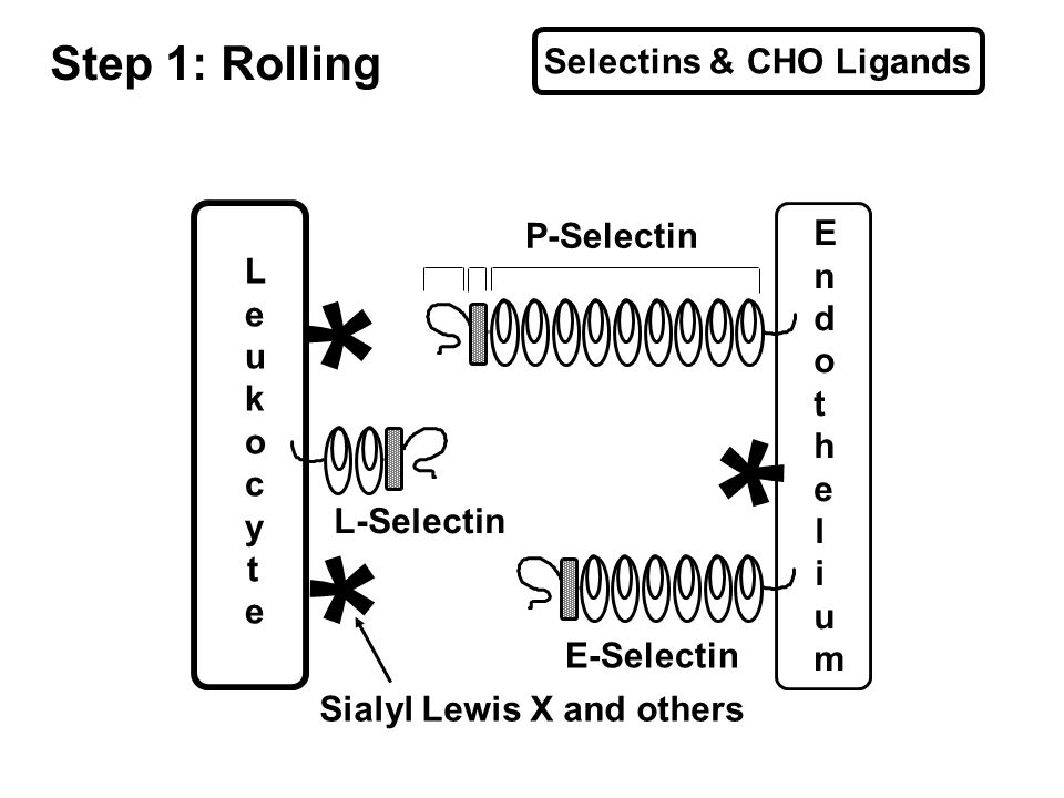 Selectins & CHO Ligands Step 1: Rolling * * * EndotheliumEndothelium LeukocyteLeukocyte P-Selectin E-Selectin L-Selectin Sialyl Lewis X and others
