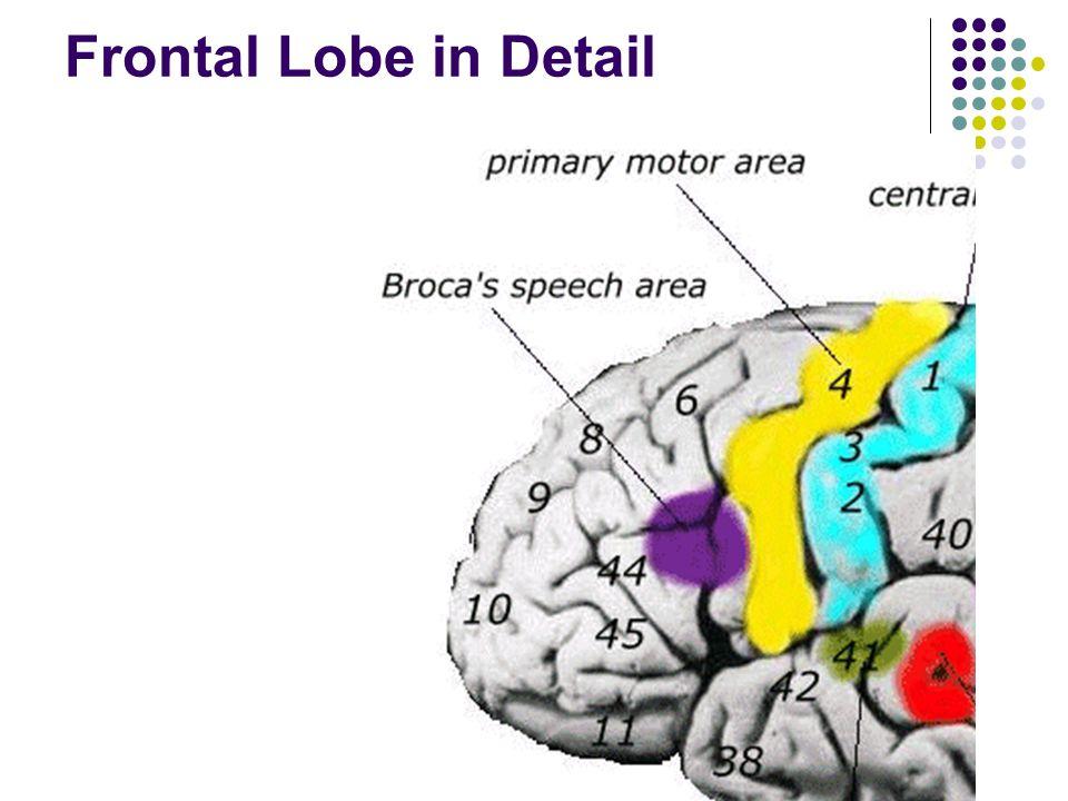 Frontal Lobe in Detail