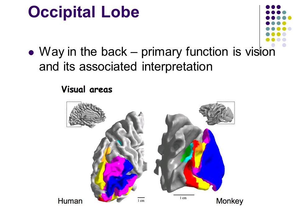 Occipital Lobe Way in the back – primary function is vision and its associated interpretation