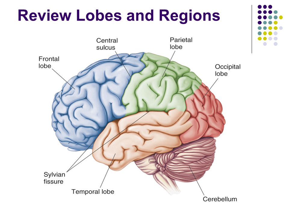Review Lobes and Regions