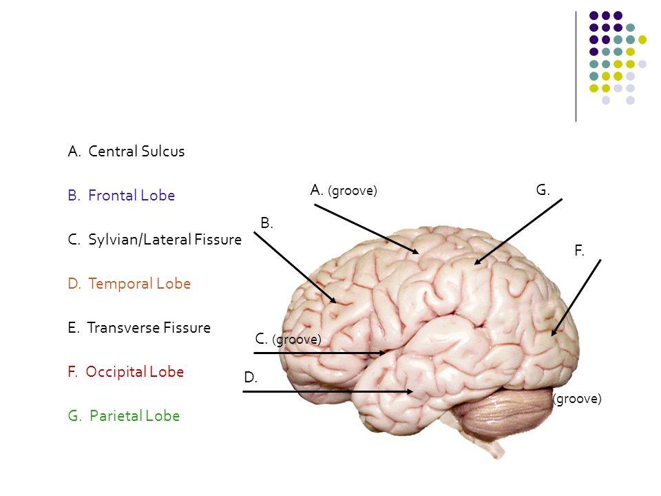 B. Frontal Lobe G. Parietal Lobe F. Occipital Lobe D. Temporal Lobe A. Central Sulcus E. Transverse Fissure C. Sylvian/Lateral Fissure B. A. (groove)