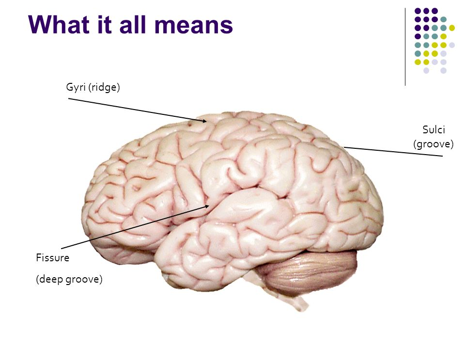 What it all means Sulci (groove) Gyri (ridge) Fissure (deep groove)