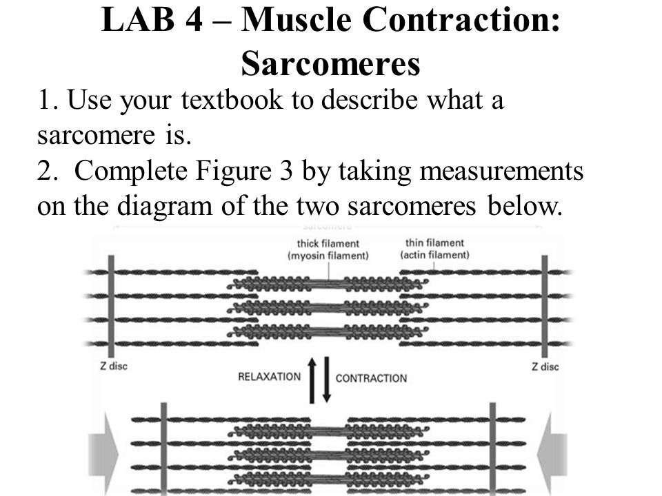 LAB 4 – Muscle Contraction: Sarcomeres 1. Use your textbook to describe what a sarcomere is. 2. Complete Figure 3 by taking measurements on the diagra