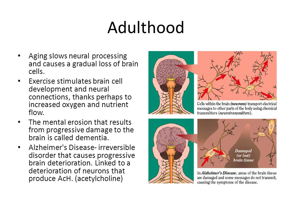 Adulthood Aging slows neural processing and causes a gradual loss of brain cells. Exercise stimulates brain cell development and neural connections, t