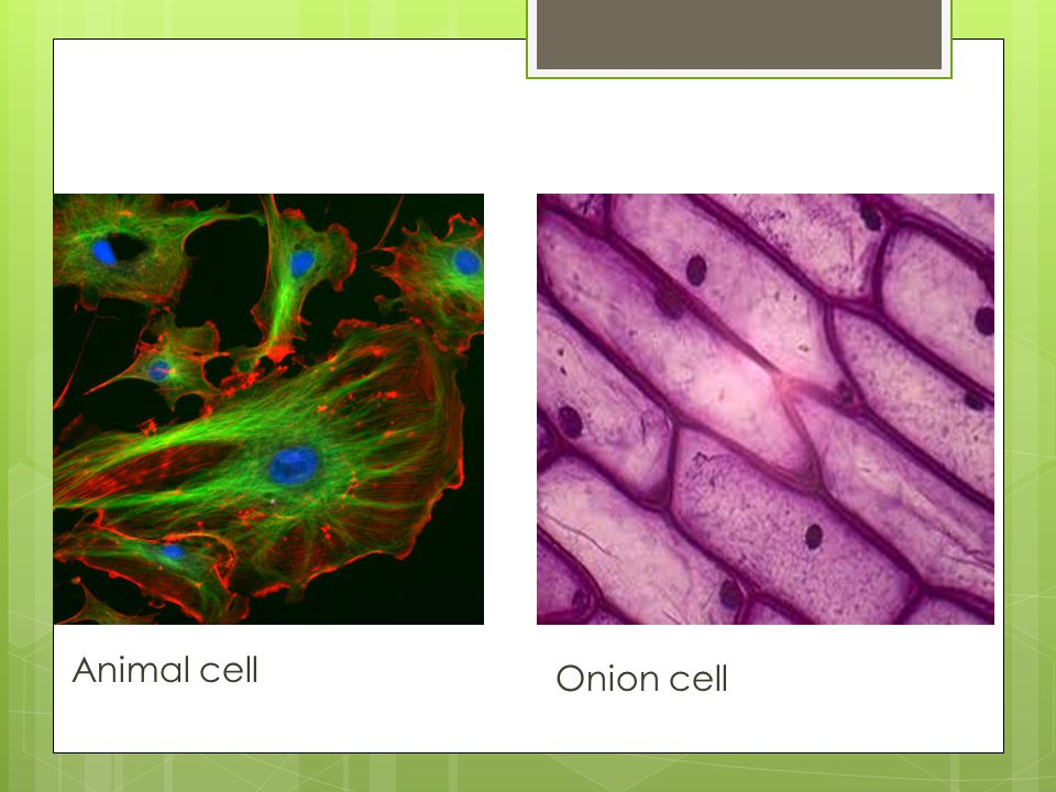 Higher magnifications  Animal cells  Plant cells