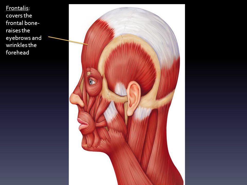 Temporalis: covers the temporal bone. Big, fan-shaped muscle. Also helps to raise the mandible.
