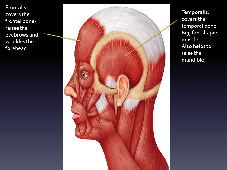 Frontalis: covers the frontal bone- raises the eyebrows and wrinkles the forehead Temporalis: covers the temporal bone.
