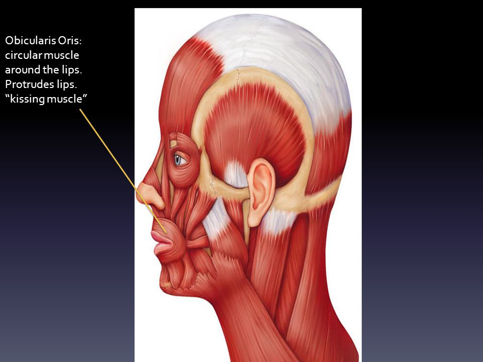 "Obicularis Oris: circular muscle around the lips. Protrudes lips. ""kissing muscle"""
