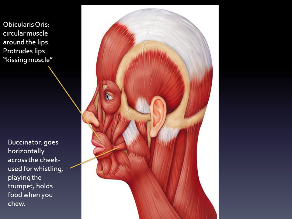 Obicularis Oris: circular muscle around the lips.Protrudes lips.