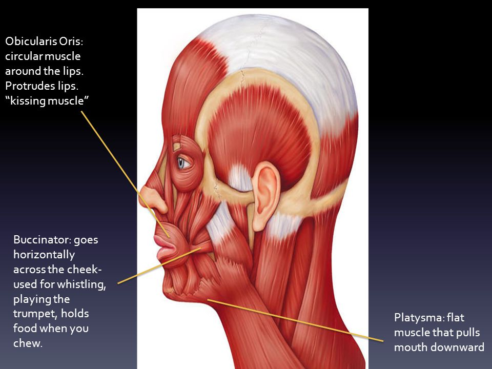 "Obicularis Oris: circular muscle around the lips. Protrudes lips. ""kissing muscle"" Buccinator: goes horizontally across the cheek- used for whistling,"