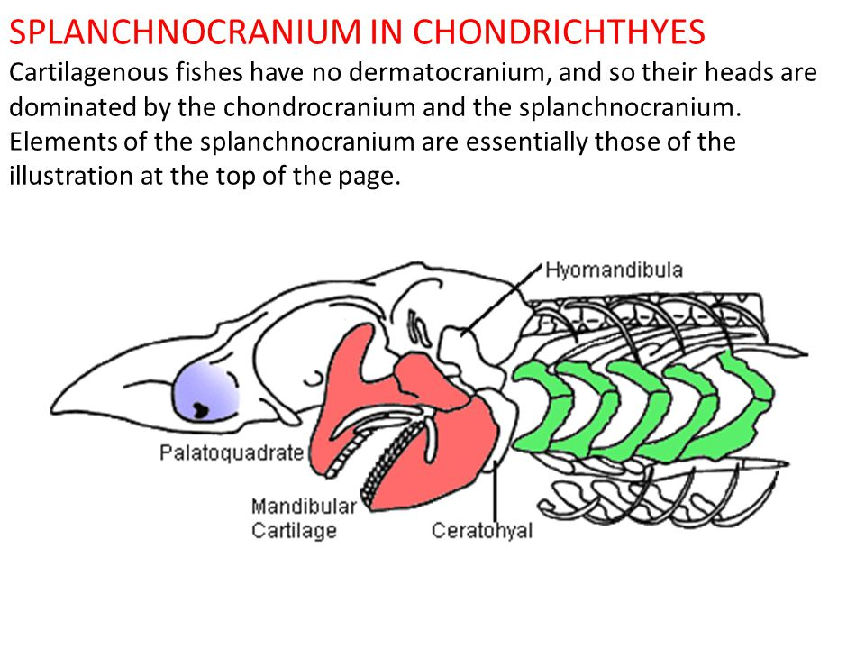 SPLANCHNOCRANIUM IN CHONDRICHTHYES Cartilagenous fishes have no dermatocranium, and so their heads are dominated by the chondrocranium and the splanch