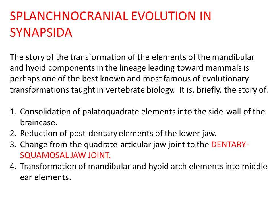SPLANCHNOCRANIAL EVOLUTION IN SYNAPSIDA The story of the transformation of the elements of the mandibular and hyoid components in the lineage leading