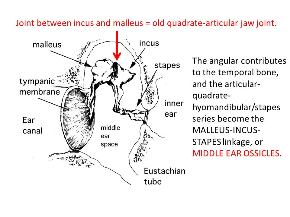 The angular contributes to the temporal bone, and the articular- quadrate- hyomandibular/stapes series become the MALLEUS-INCUS- STAPES linkage, or MI