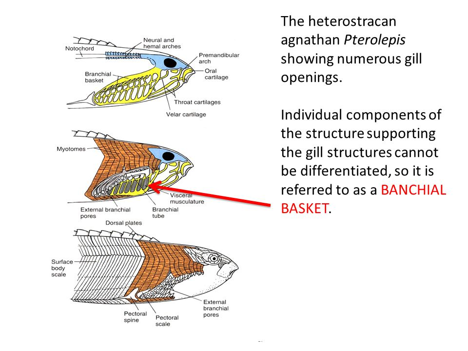 The heterostracan agnathan Pterolepis showing numerous gill openings. Individual components of the structure supporting the gill structures cannot be