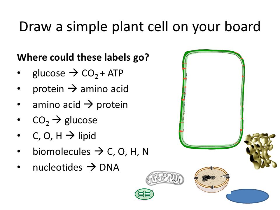 Draw a simple plant cell on your board Where could these labels go.