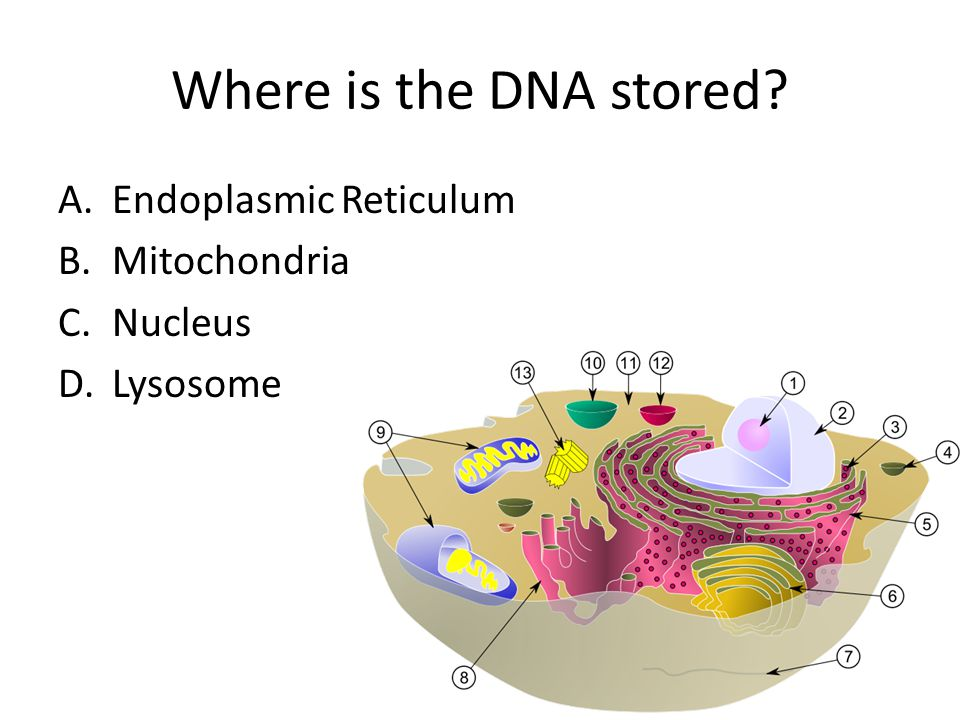 Where is the DNA stored? A.Endoplasmic Reticulum B.Mitochondria C.Nucleus D.Lysosome