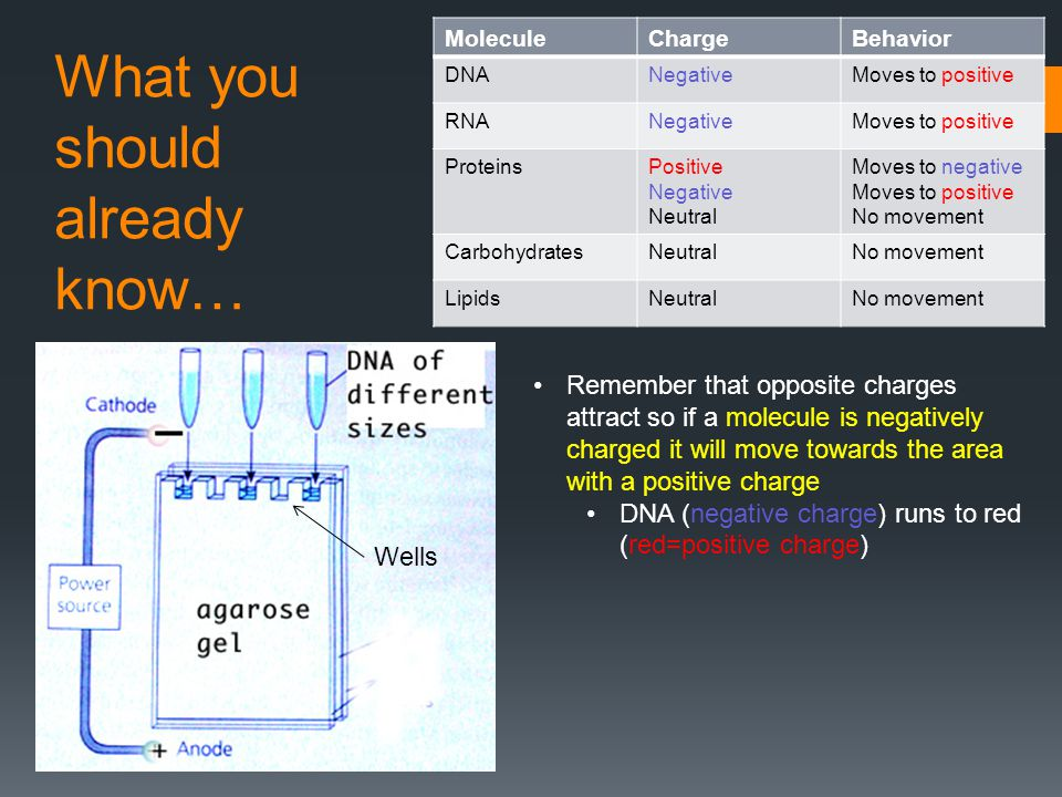 What you should already know… MoleculeChargeBehavior DNANegativeMoves to positive RNANegativeMoves to positive ProteinsPositive Negative Neutral Moves to negative Moves to positive No movement CarbohydratesNeutralNo movement LipidsNeutralNo movement Remember that opposite charges attract so if a molecule is negatively charged it will move towards the area with a positive charge DNA (negative charge) runs to red (red=positive charge) Wells