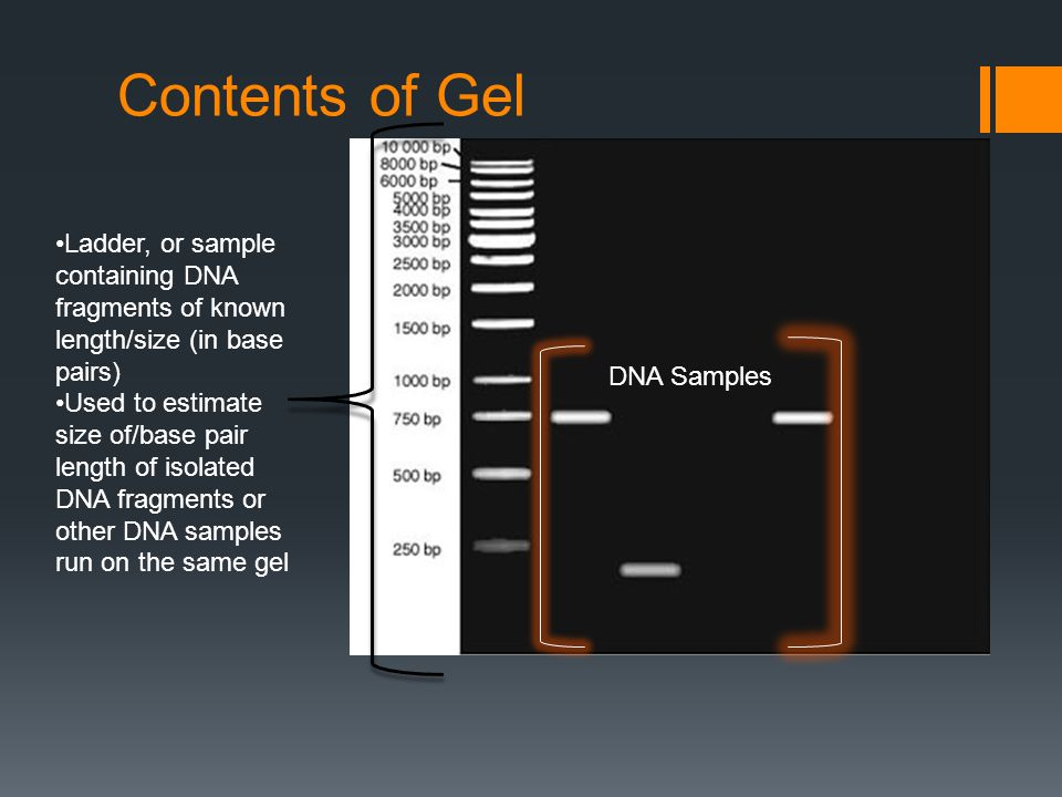 Contents of Gel DNA Samples Ladder, or sample containing DNA fragments of known length/size (in base pairs) Used to estimate size of/base pair length of isolated DNA fragments or other DNA samples run on the same gel