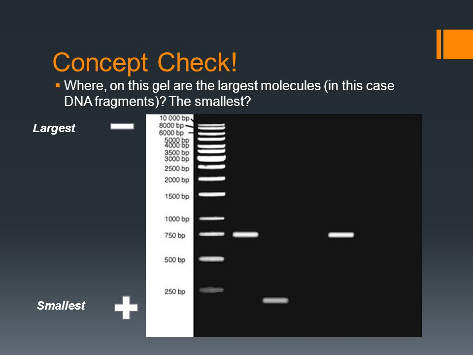 Concept Check.  Where, on this gel are the largest molecules (in this case DNA fragments).