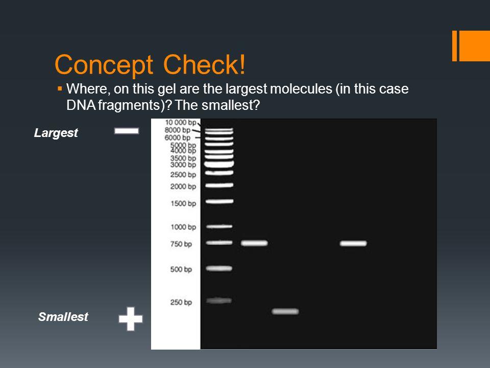 PCR Review: Video  http://www.hhmi.org/biointeractive/media/DNAi_PCR-lg.mov http://www.hhmi.org/biointeractive/media/DNAi_PCR-lg.mov