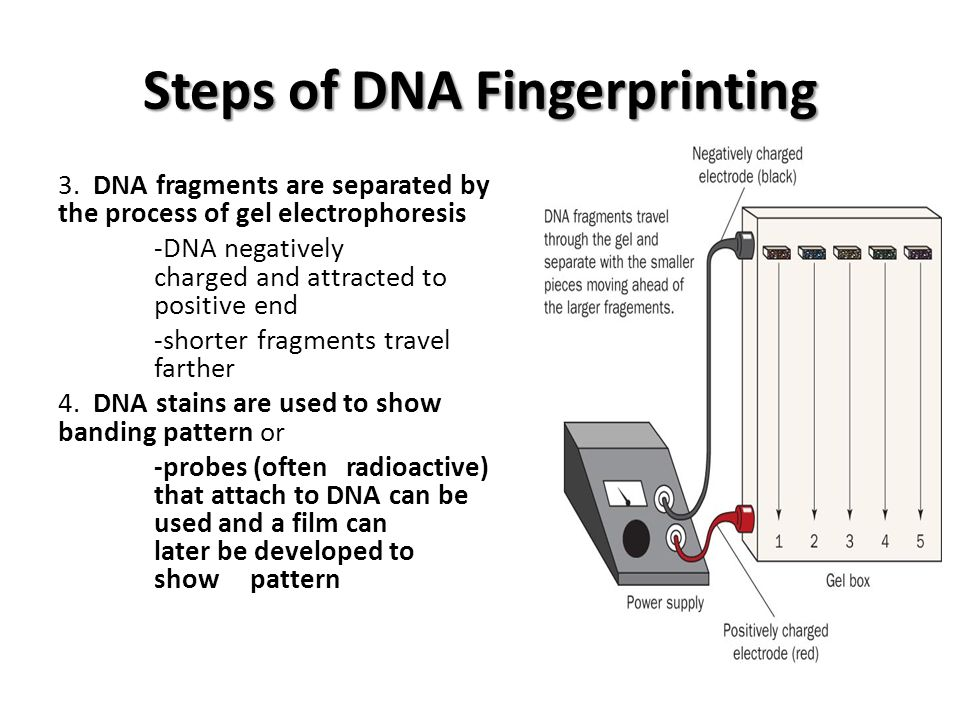 Steps of DNA Fingerprinting 3.
