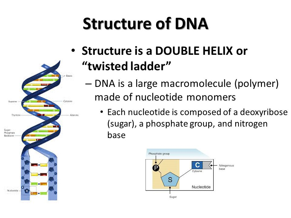 Structure of DNA Sides of the ladder are made of alternating deoxyribose (sugar) and phosphate groups.