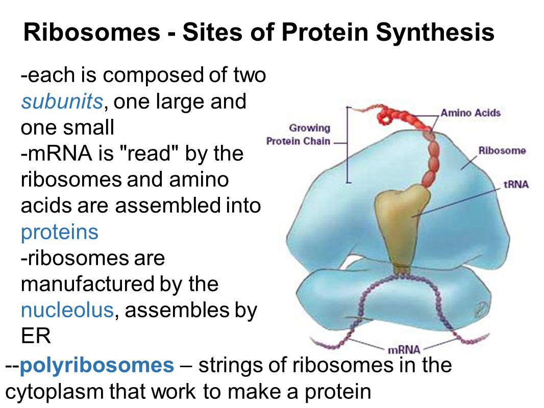 Ribosomes - Sites of Protein Synthesis -each is composed of two subunits, one large and one small -mRNA is