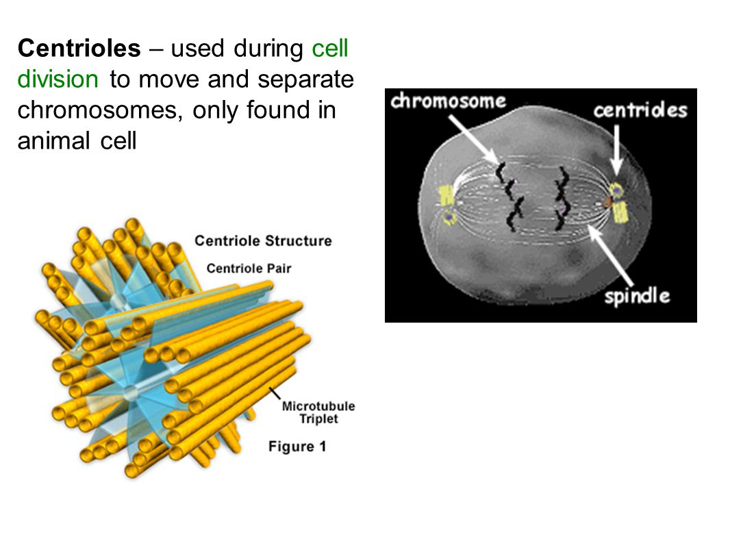 Centrioles – used during cell division to move and separate chromosomes, only found in animal cell