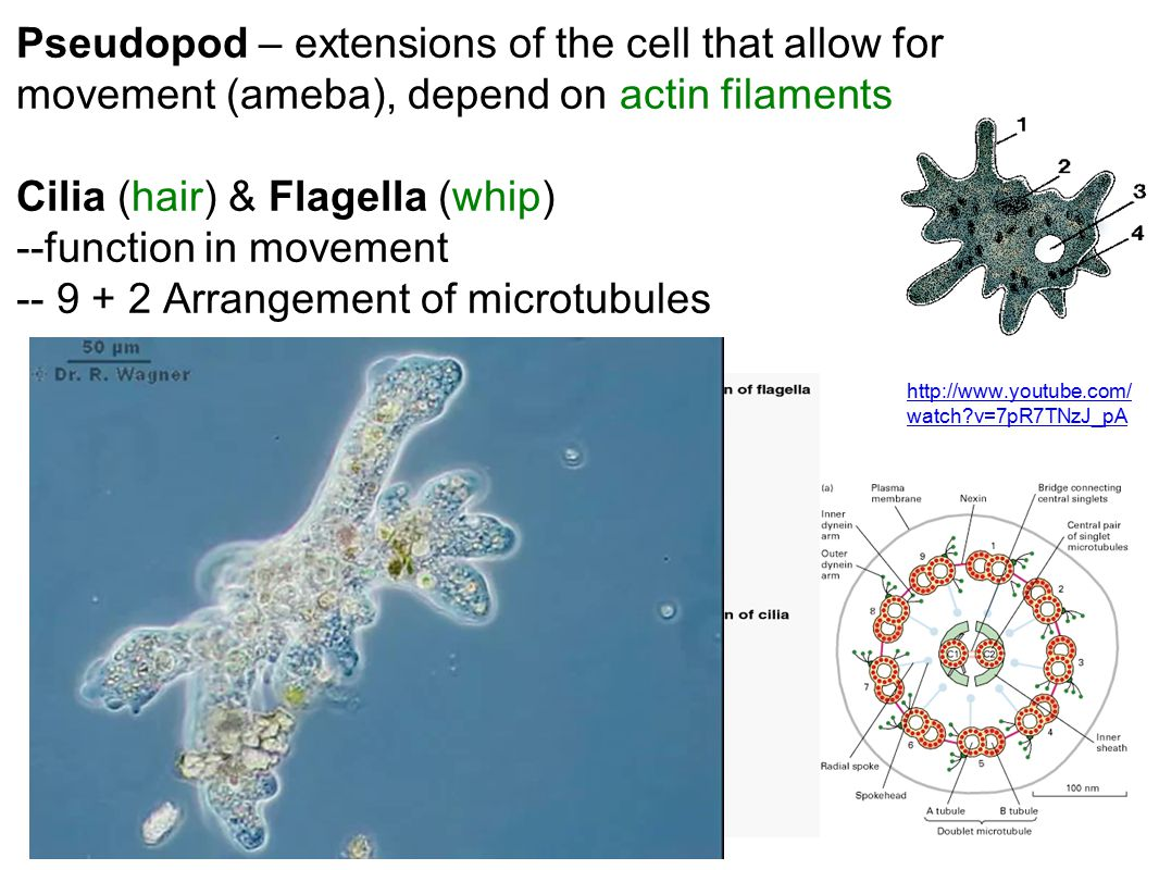 Pseudopod – extensions of the cell that allow for movement (ameba), depend on actin filaments Cilia (hair) & Flagella (whip) --function in movement --