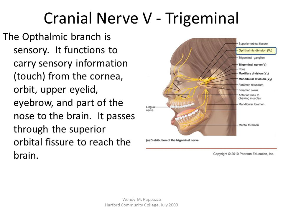 Cranial Nerve V - Trigeminal The Opthalmic branch is sensory. It functions to carry sensory information (touch) from the cornea, orbit, upper eyelid,