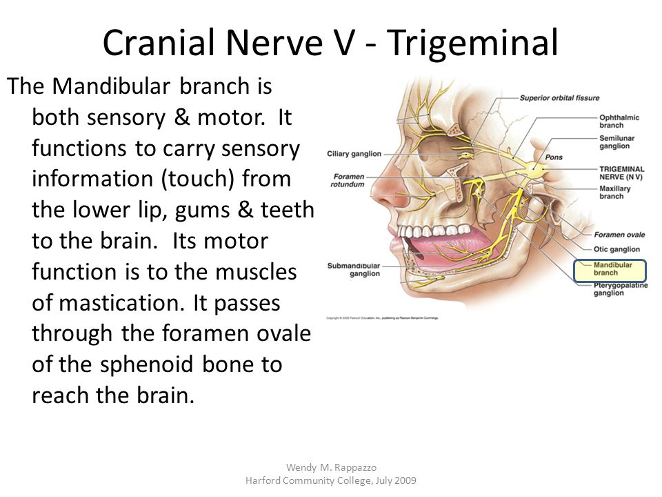 Cranial Nerve V - Trigeminal The Mandibular branch is both sensory & motor. It functions to carry sensory information (touch) from the lower lip, gums