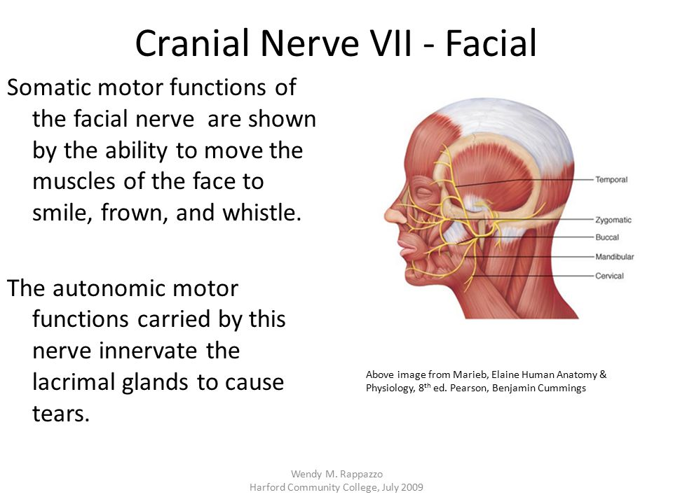 Cranial Nerve VII - Facial Somatic motor functions of the facial nerve are shown by the ability to move the muscles of the face to smile, frown, and w