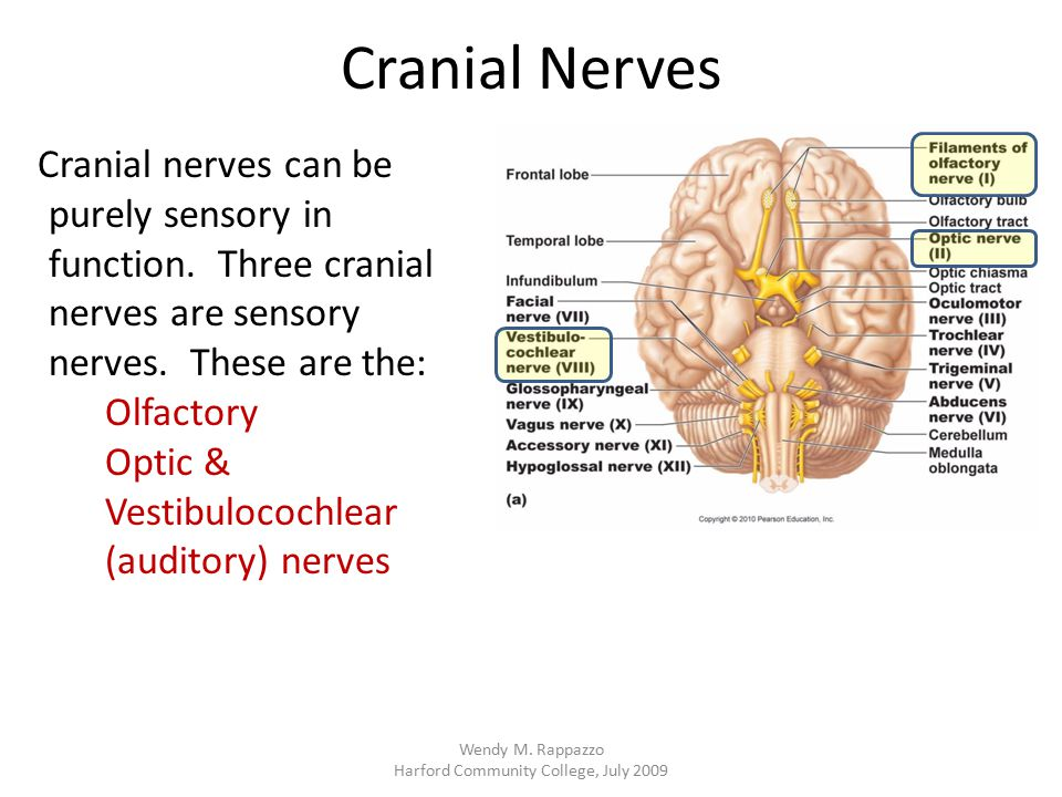 Cranial Nerves Cranial nerves can be purely sensory in function. Three cranial nerves are sensory nerves. These are the: Olfactory Optic & Vestibuloco