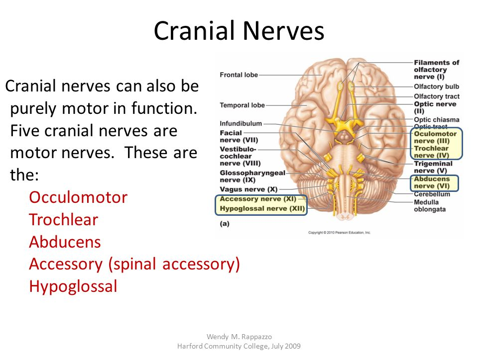 Cranial Nerves Cranial nerves can also be purely motor in function. Five cranial nerves are motor nerves. These are the: Occulomotor Trochlear Abducen