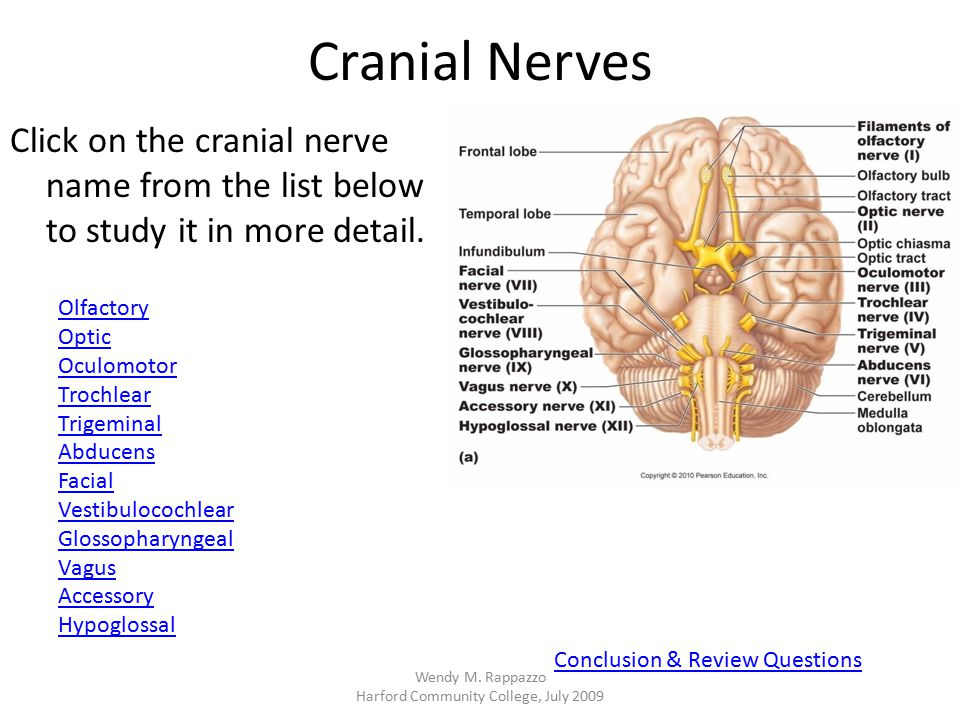 Cranial Nerves Click on the cranial nerve name from the list below to study it in more detail. Olfactory Optic Oculomotor Trochlear Trigeminal Abducen