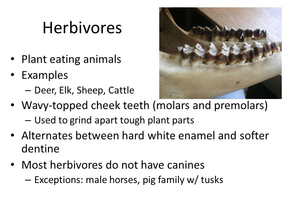 Herbivores Plant eating animals Examples – Deer, Elk, Sheep, Cattle Wavy-topped cheek teeth (molars and premolars) – Used to grind apart tough plant parts Alternates between hard white enamel and softer dentine Most herbivores do not have canines – Exceptions: male horses, pig family w/ tusks