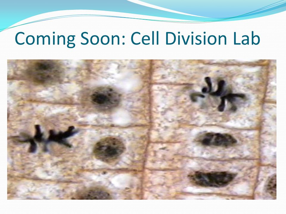 Coming Soon: Cell Division Lab