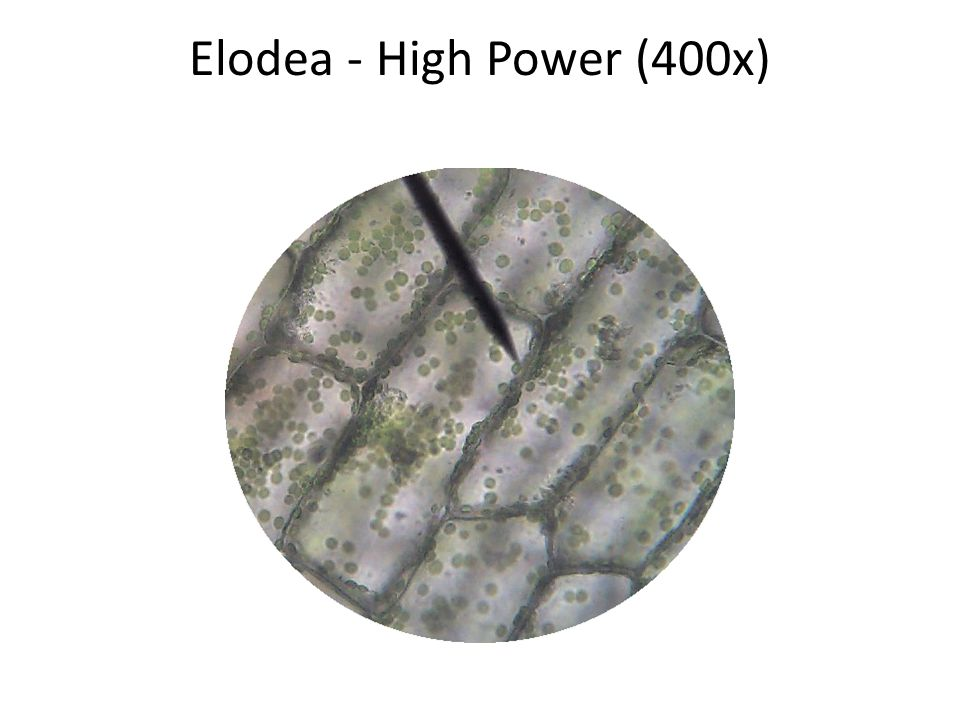 Elodea - High Power (400x)
