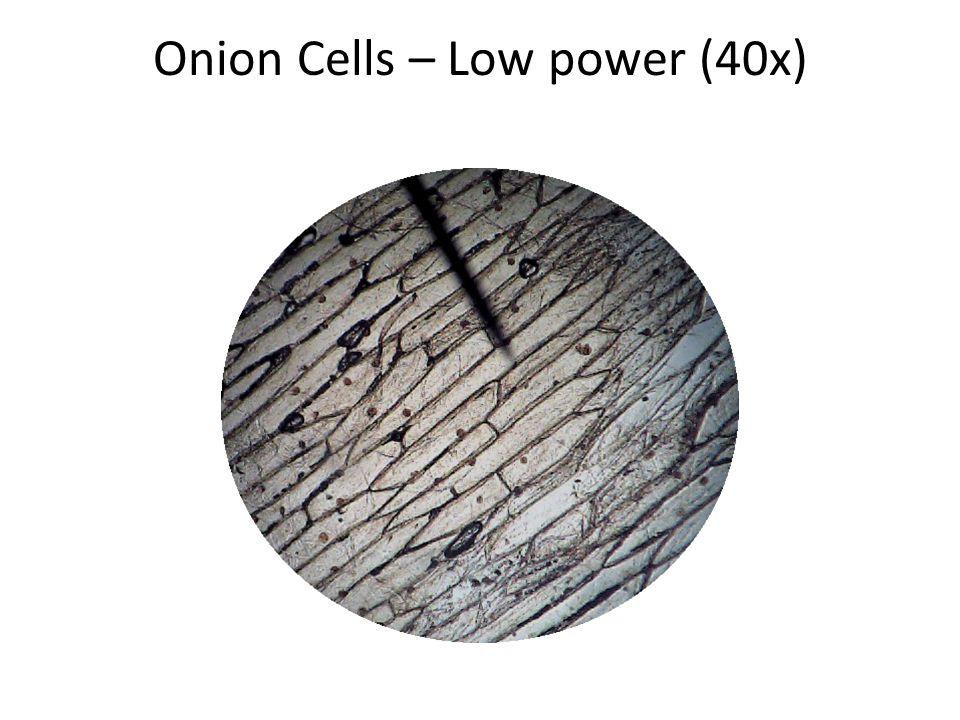 Onion Cells - Medium Power (100x)