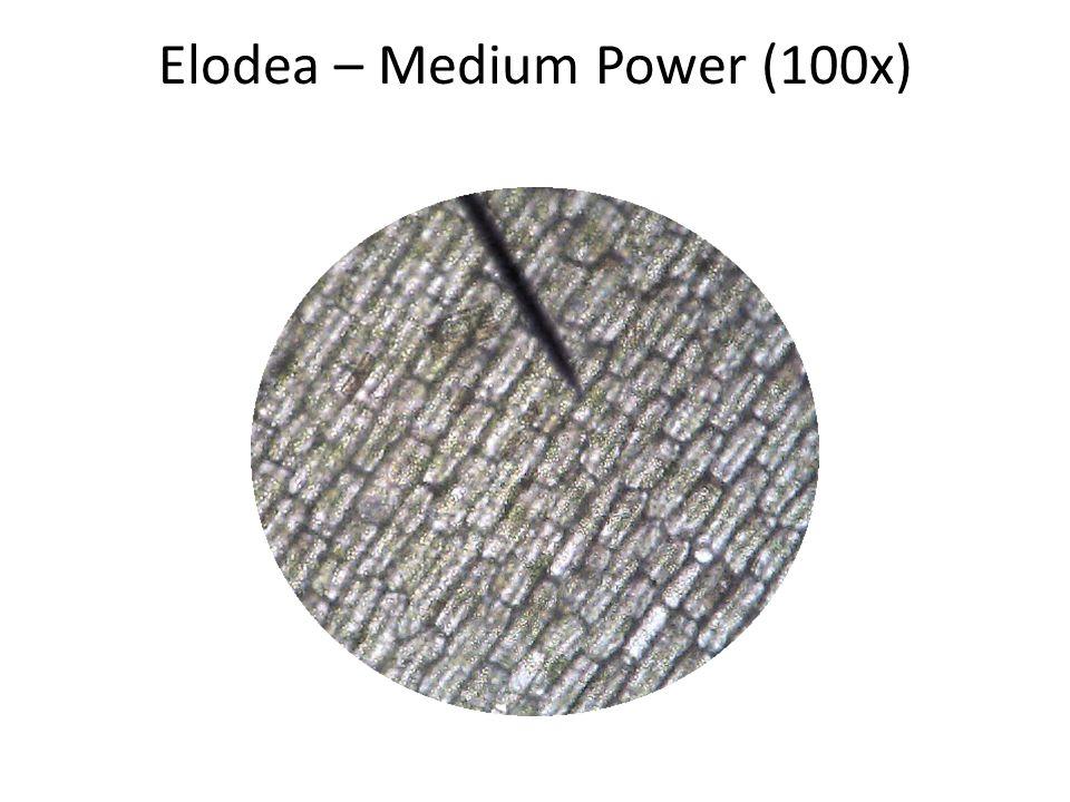 Elodea – Medium Power (100x)