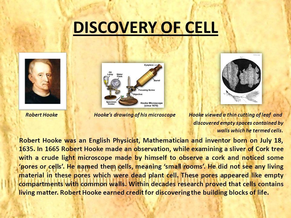 DISCOVERY OF CELL Robert Hooke Hooke's drawing of his microscope Hooke viewed a thin cutting of leaf and discovered empty spaces contained by walls wh