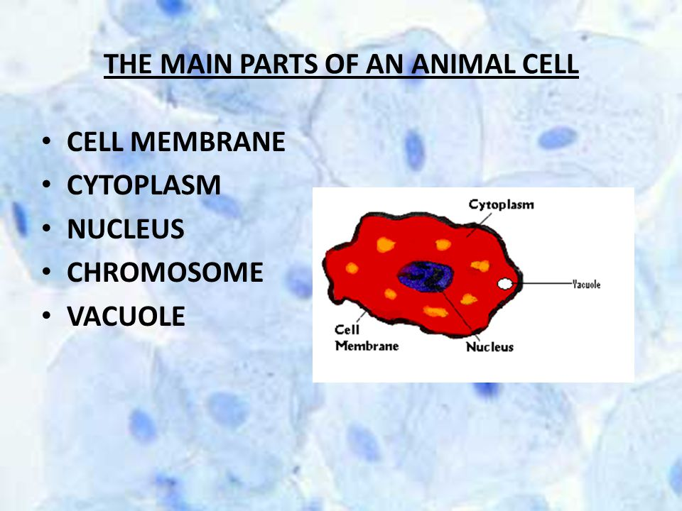 THE MAIN PARTS OF AN ANIMAL CELL CELL MEMBRANE CYTOPLASM NUCLEUS CHROMOSOME VACUOLE