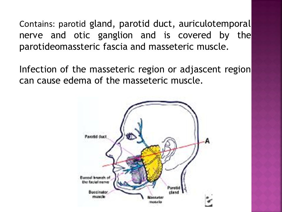 Is located: lateraly to the ramus of mandible, medialy to the lateral surface of medial pterygoid muscle, posterior to the parotid gland, anterior to the pterygomandibular raphe and anterior to the lateral pterygoid muscle.