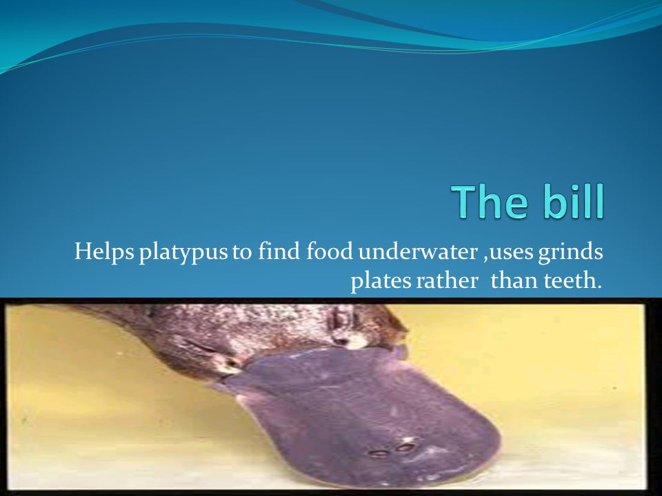 Helps platypus to find food underwater,uses grinds plates rather than teeth.